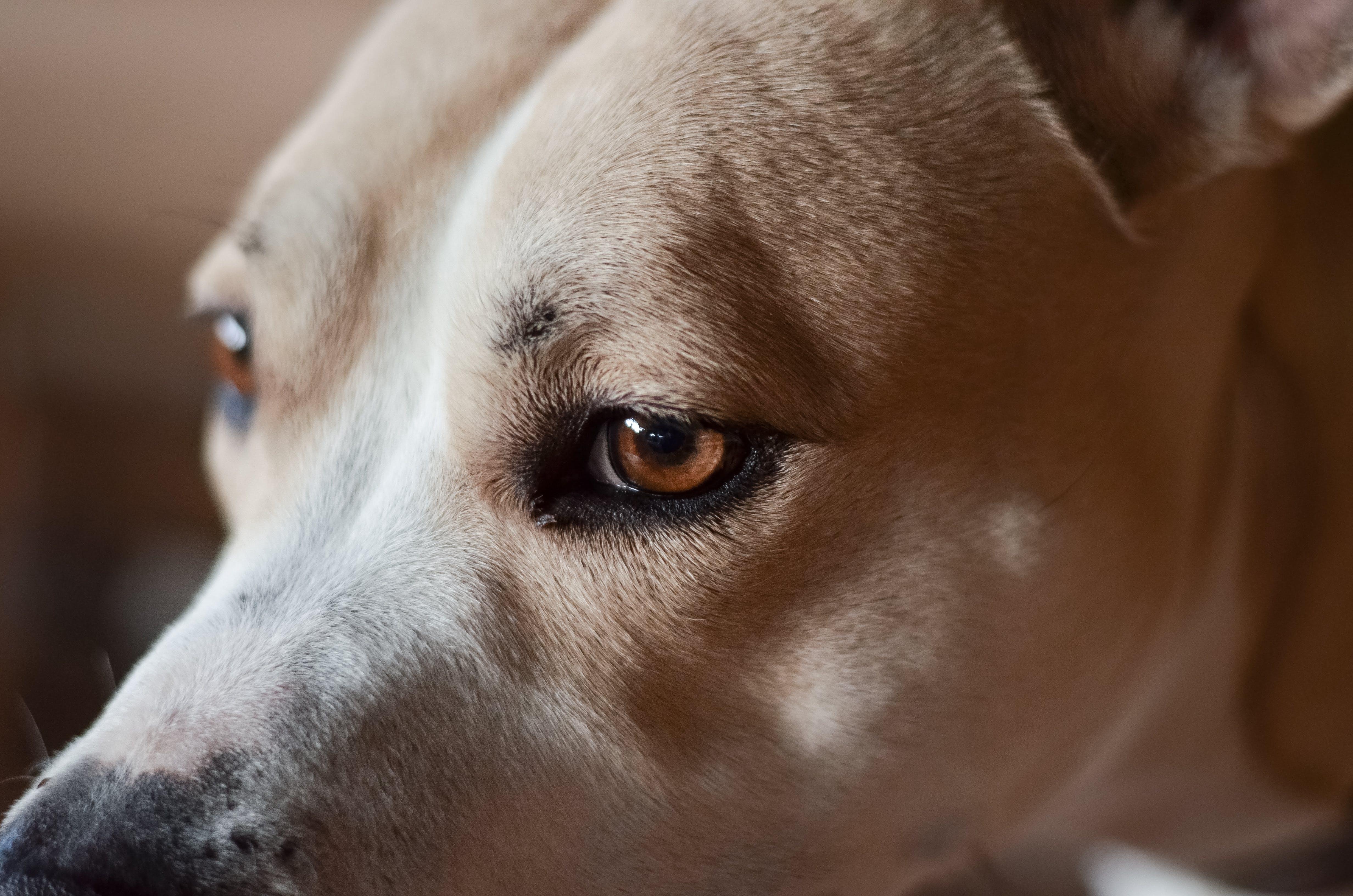 Close Up Photo of Adult Tan Dog