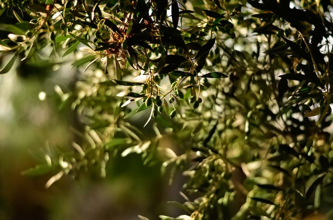 Green Leaf Fruit Tree Selective Focal Photo