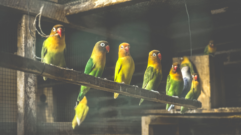 Flock of Fischer's Lovebirds in Cage