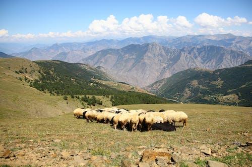 Brown Sheep Lot