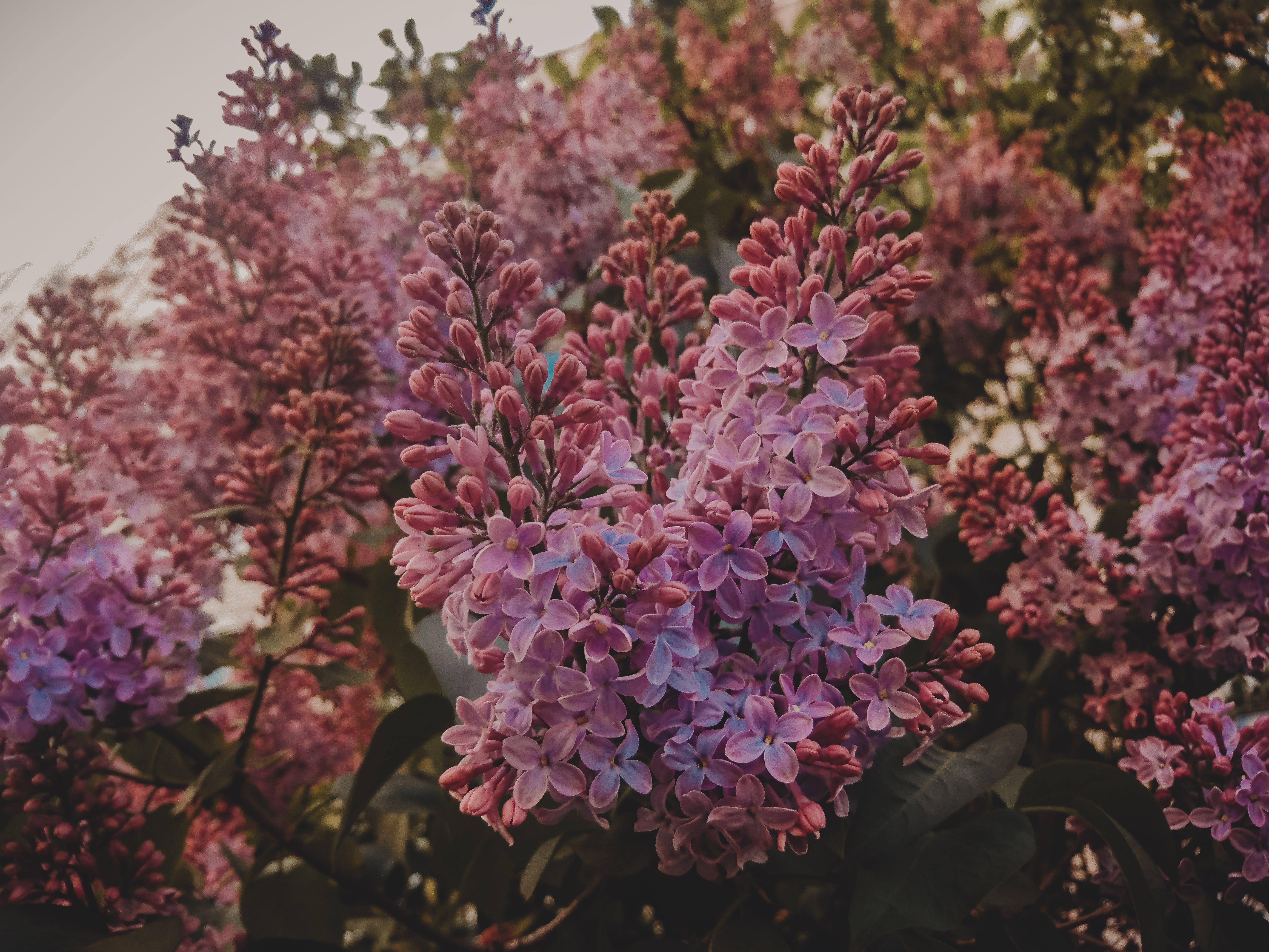 Gratis lagerfoto af blomster, blomsterknopper, blomstrende, Botanisk