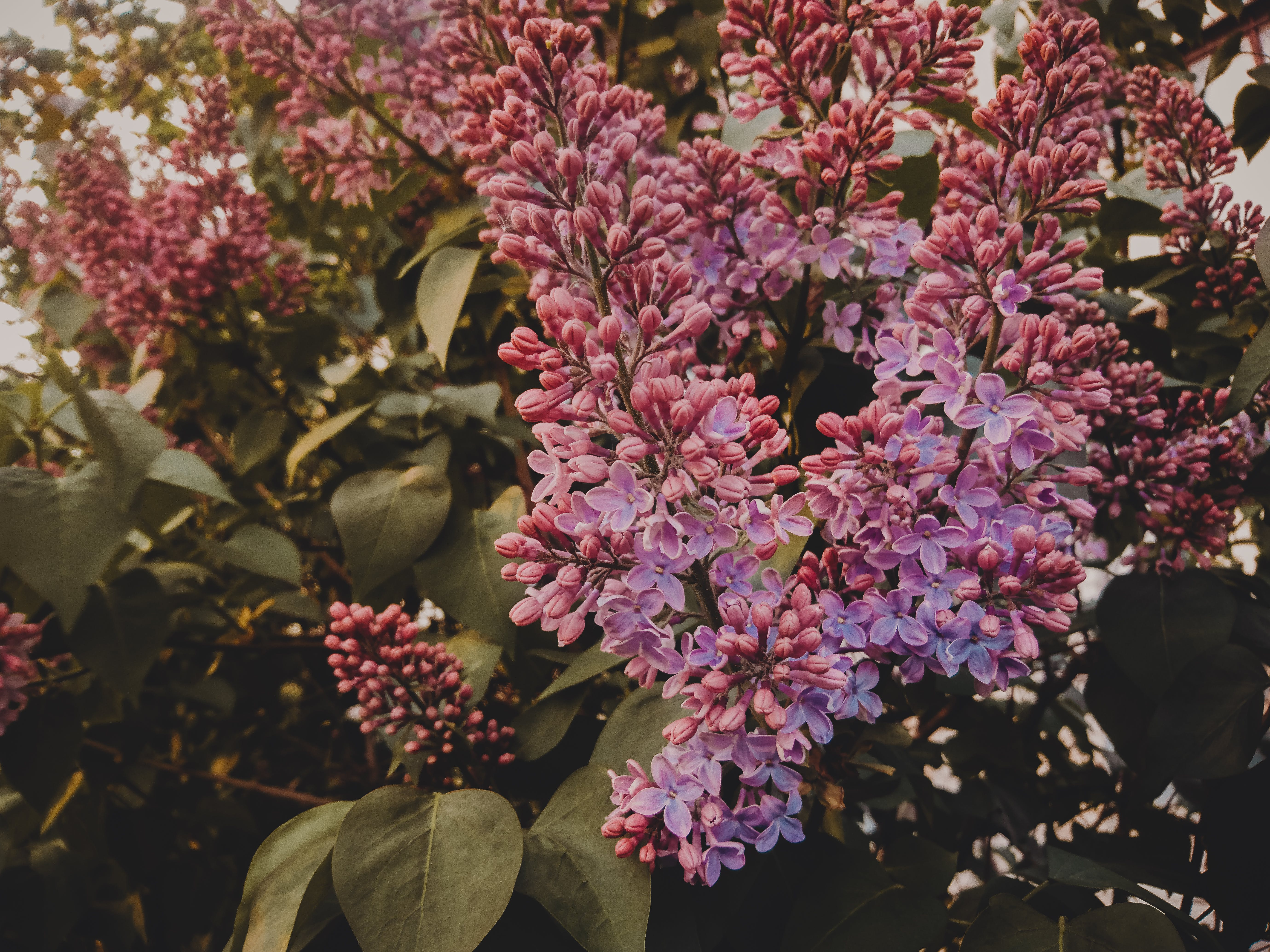 Kostenloses Stock Foto zu blumen, blüte, blütenblätter, blütenknospen