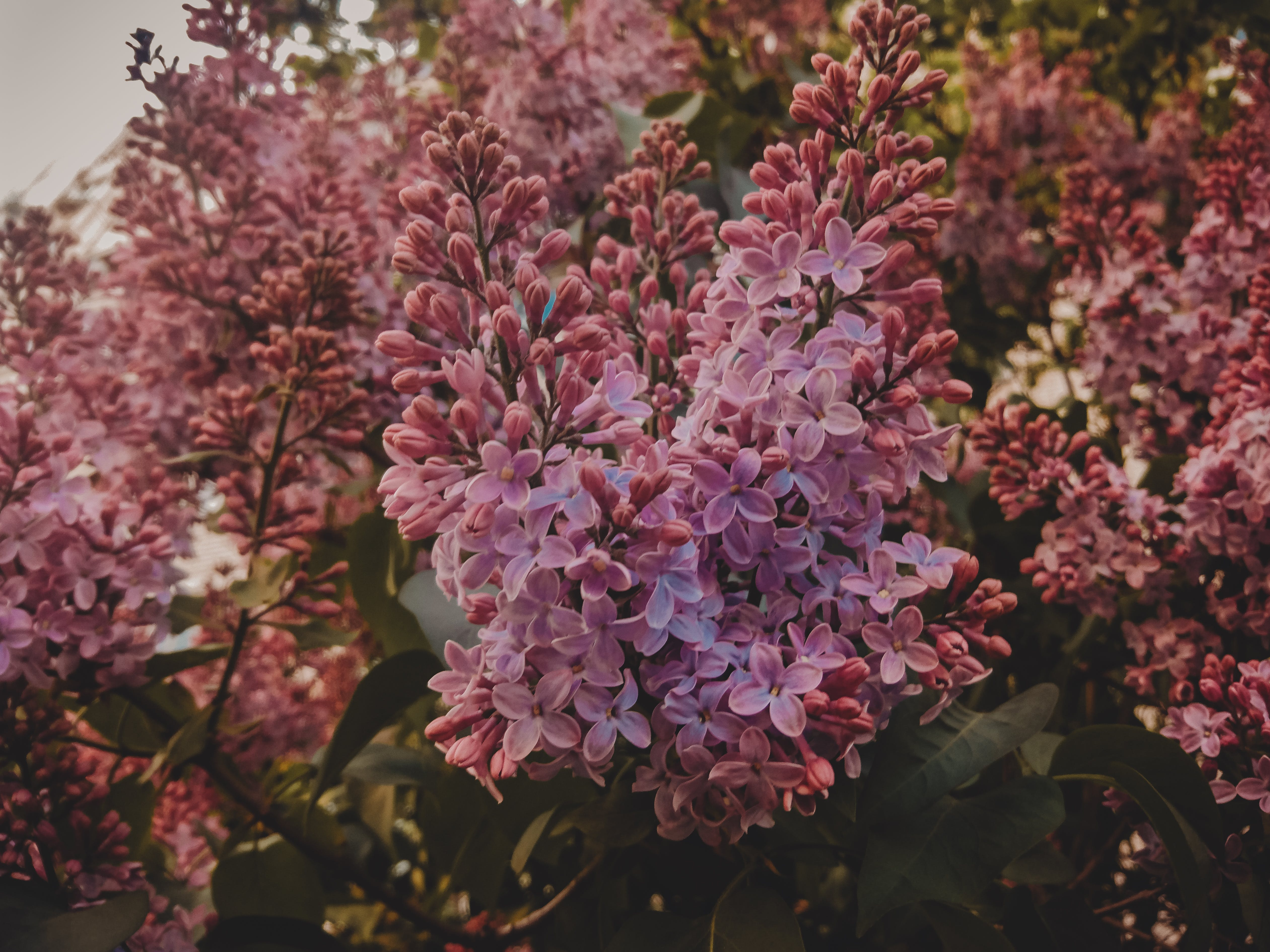 Selective Focus Photography of Pink Lilac Flowers