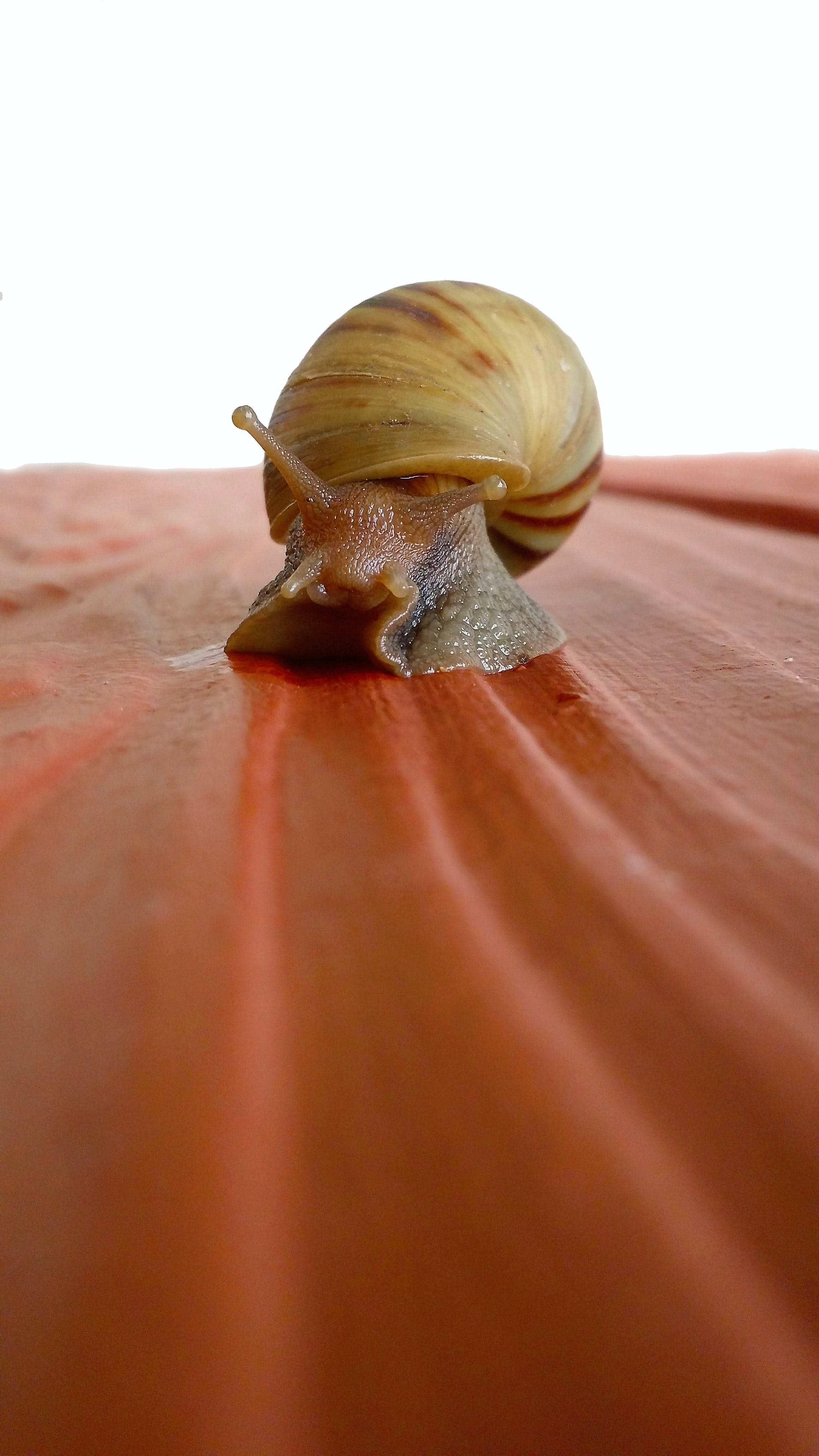 Brown Snail on Red Surface