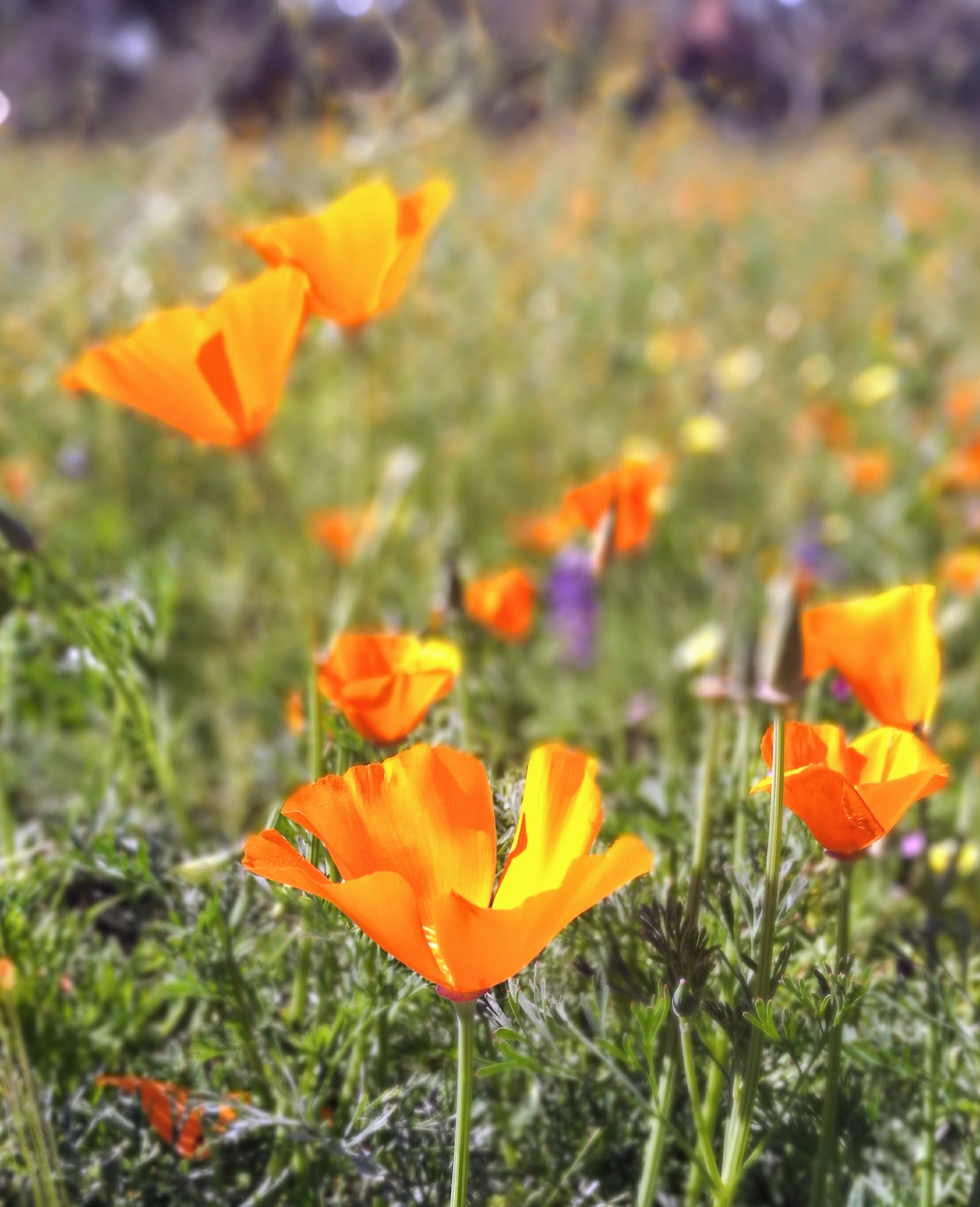 Selective Photo of California Poppy Flower