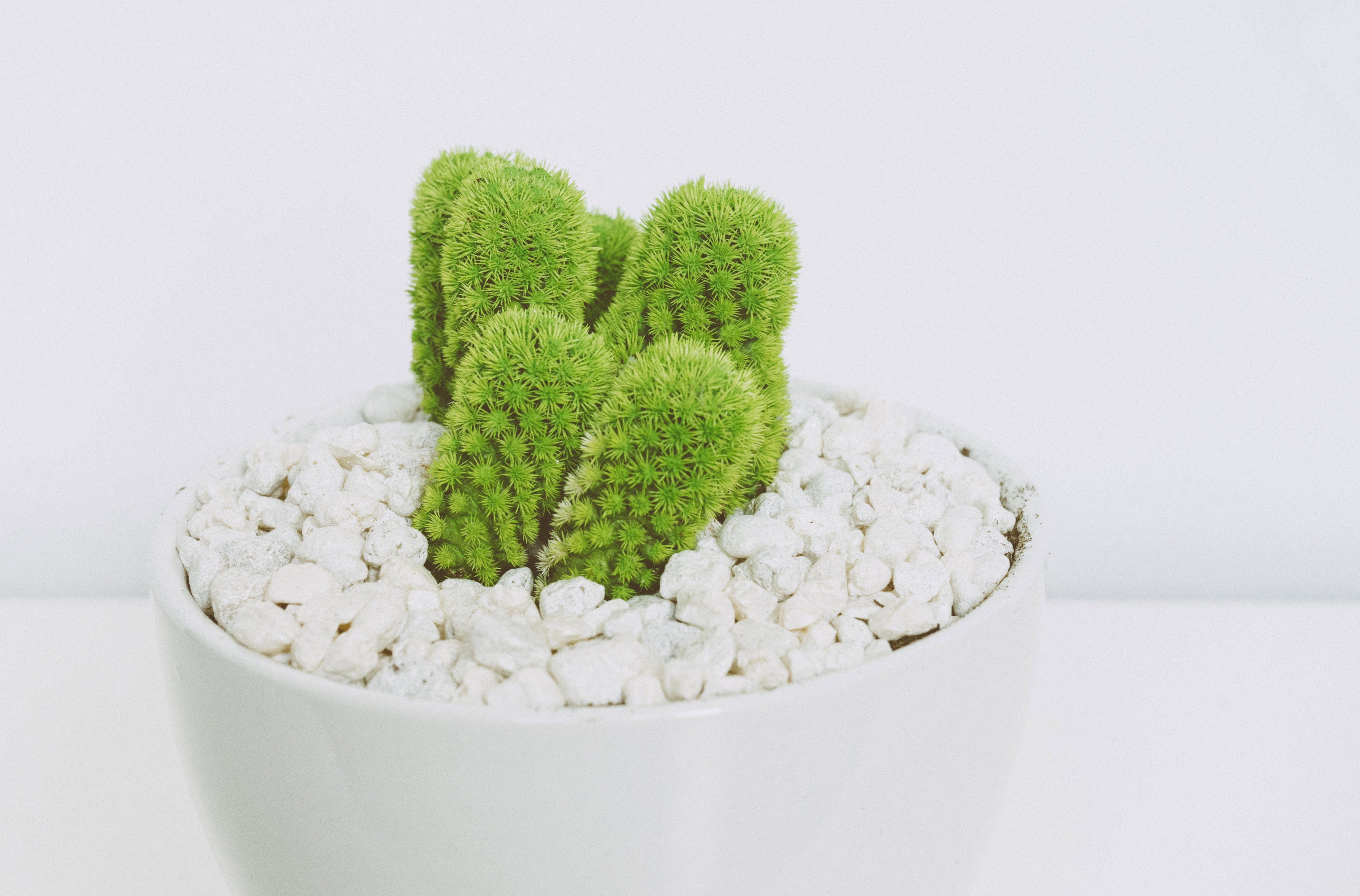 Green Cactus in White Pot