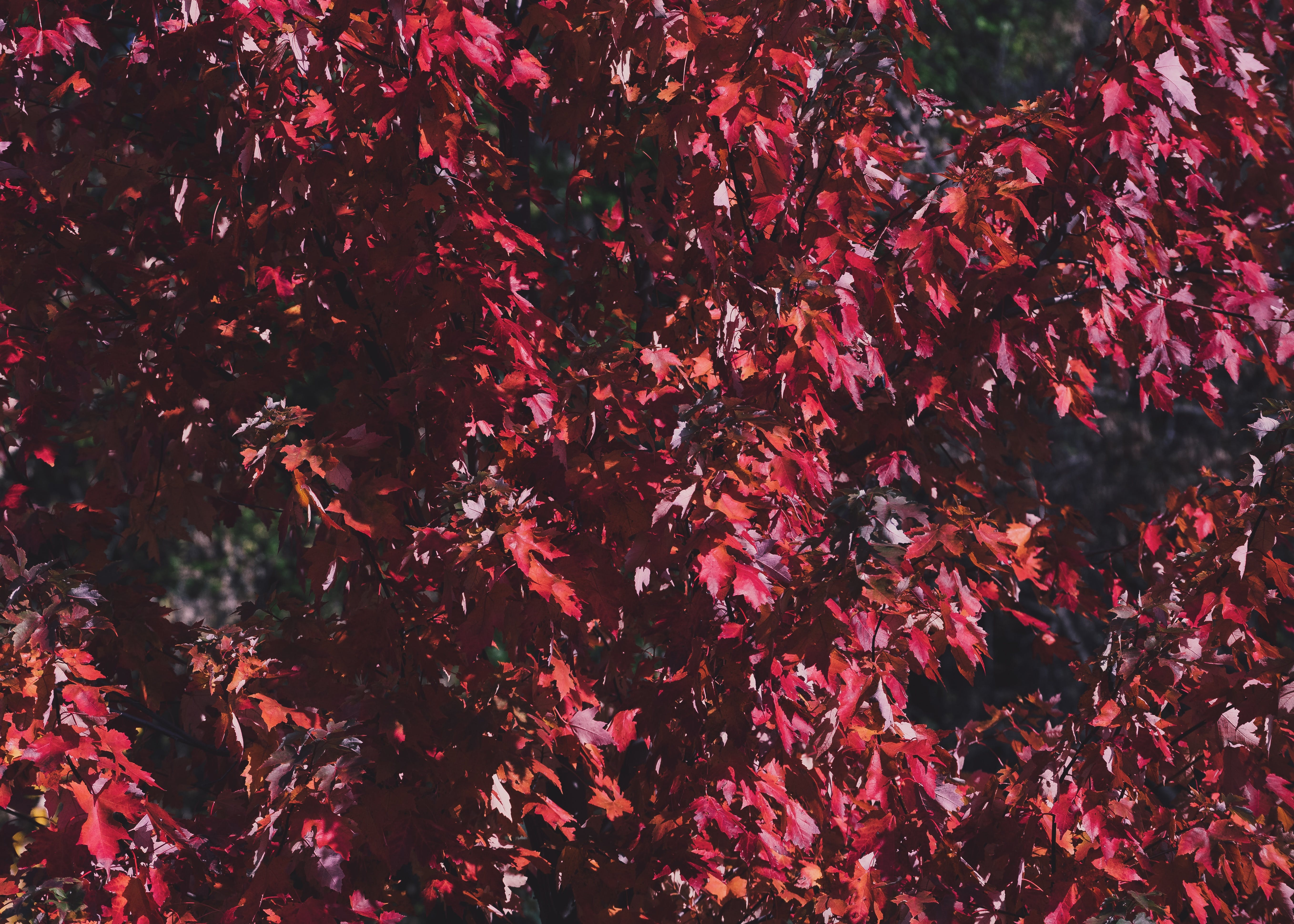 Focus Photography Red Leaf Tree