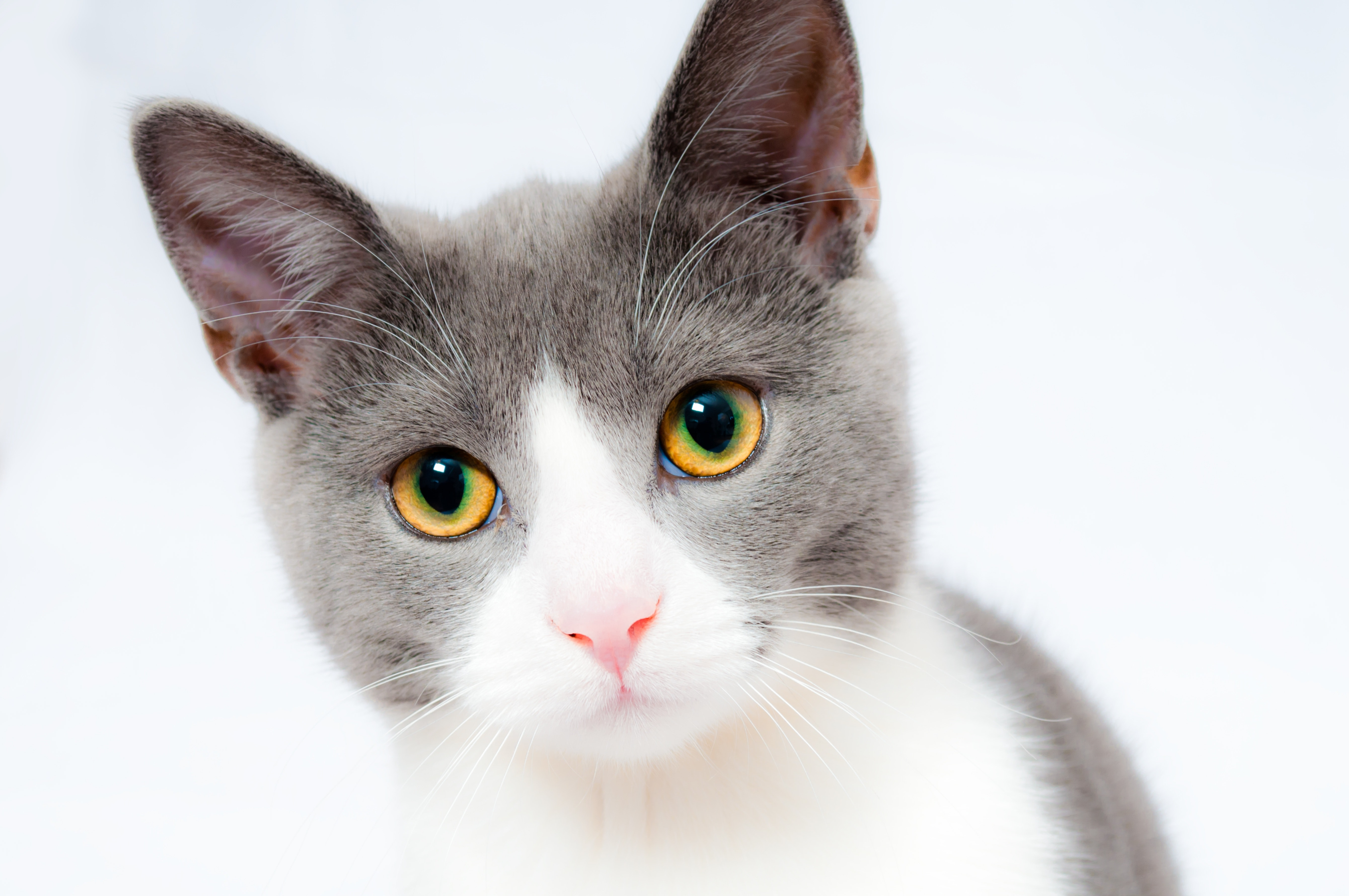 Grey And White Short Fur Cat Free Stock Photo