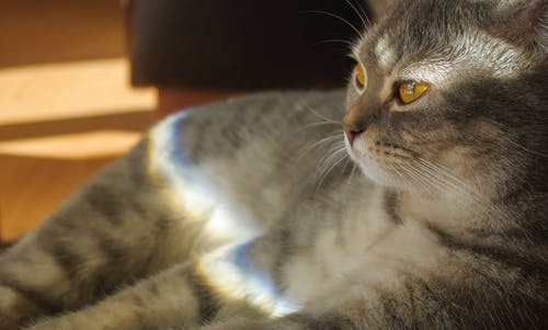 Gratis stockfoto met beest, bont, donsachtig, gestreepte kat