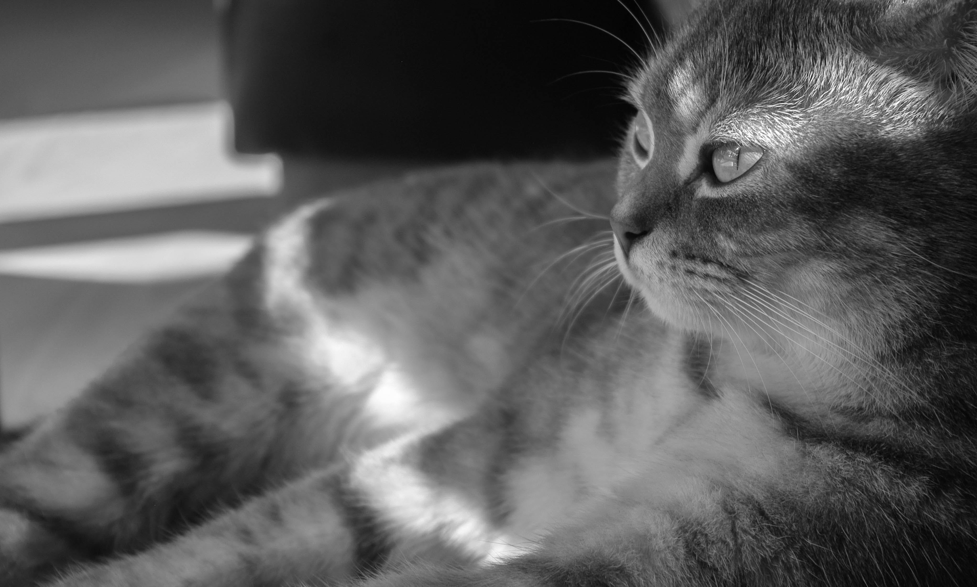 Grayscale Photo of Gray Cat