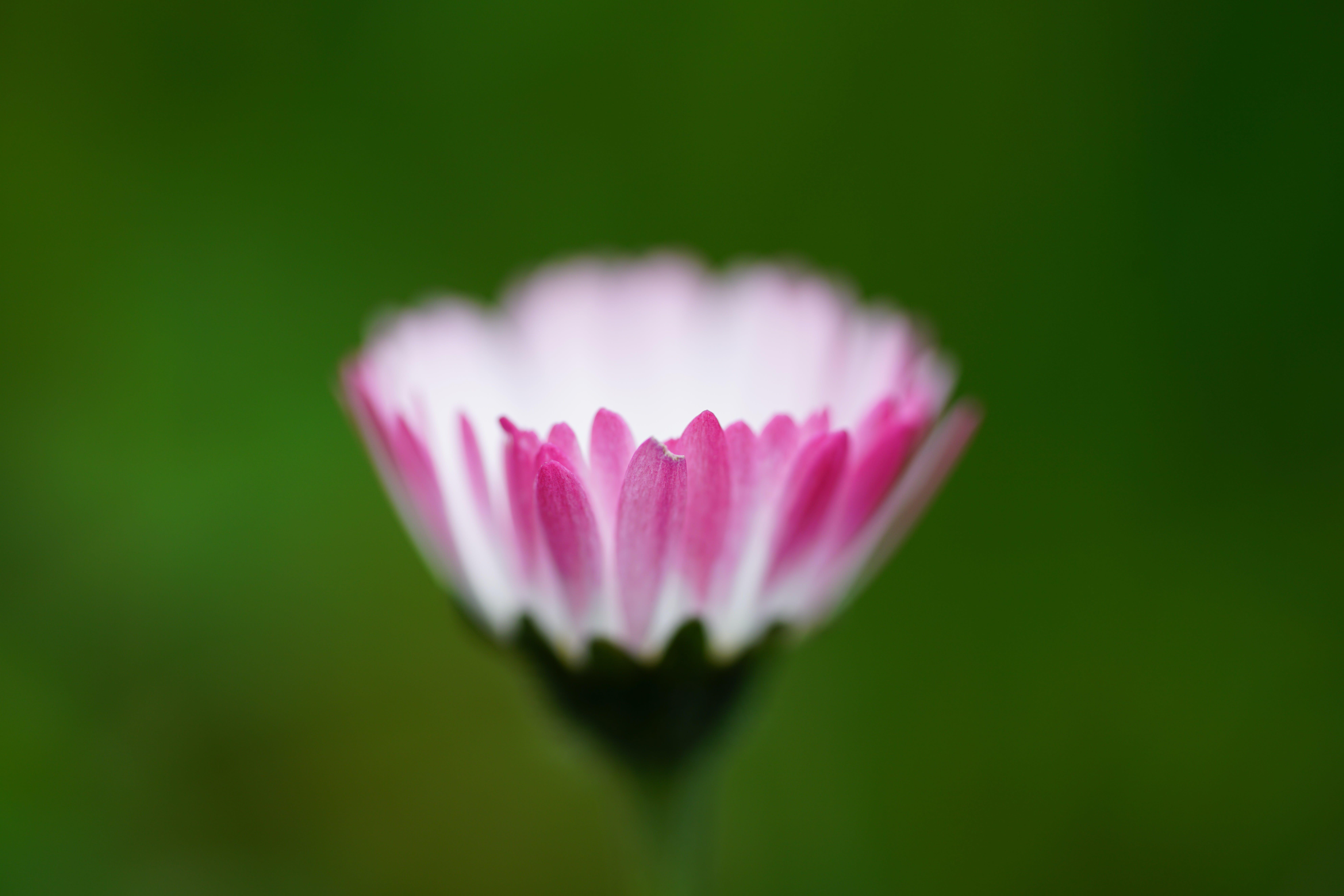 Tilt Shift Photography of Pink and White Multi Petaled Flower