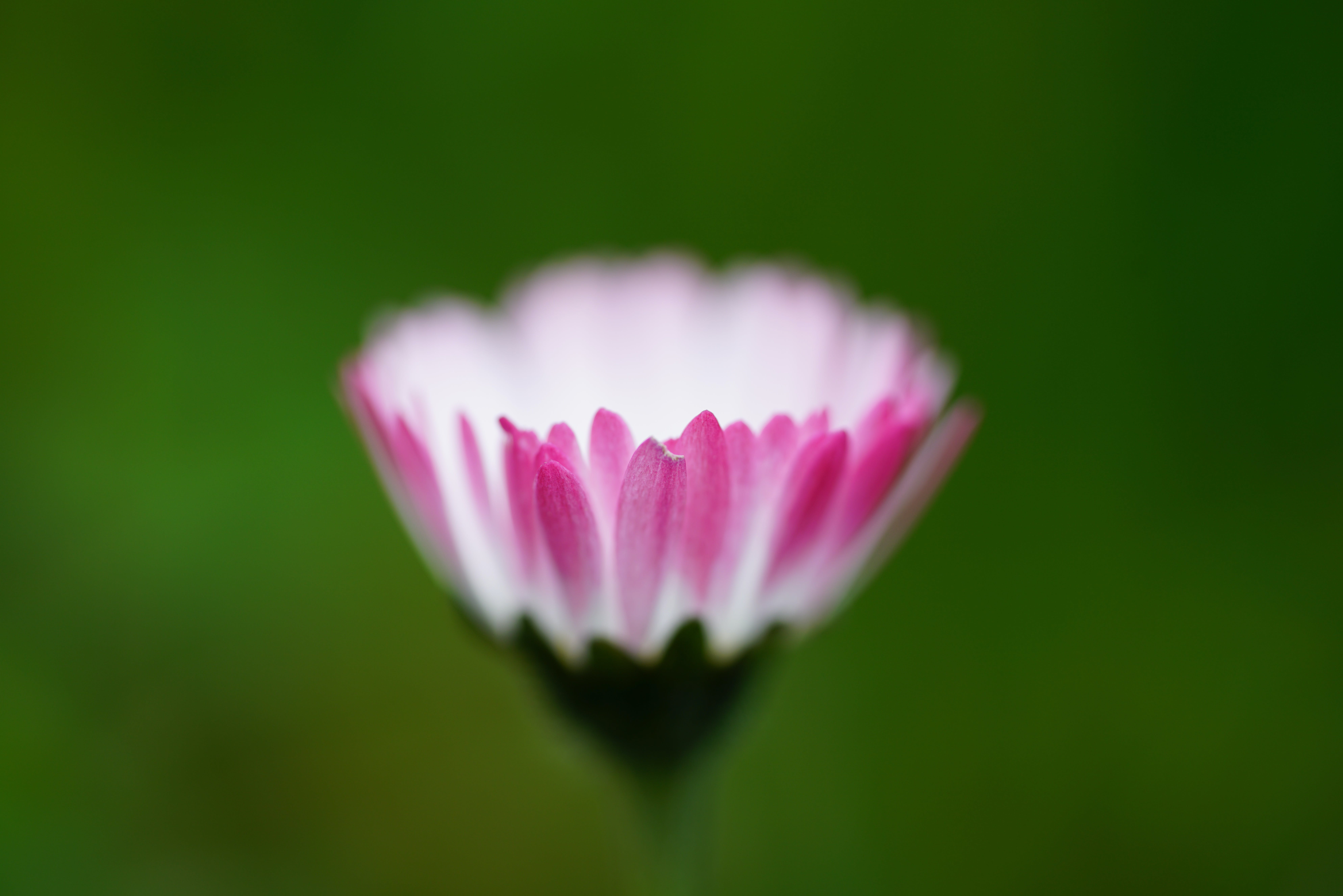 Tilt Shift Photography of Pink and White Multi Petaled Flower