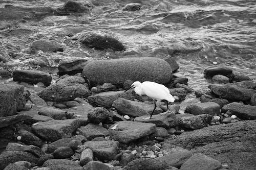 Darmowe zdjęcie z galerii z aviaire, długi bec, egreta, faune