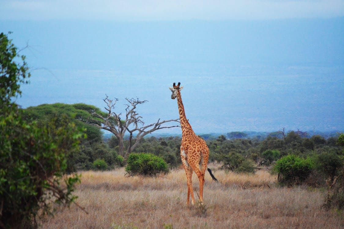 Afrika, buš, cicavec