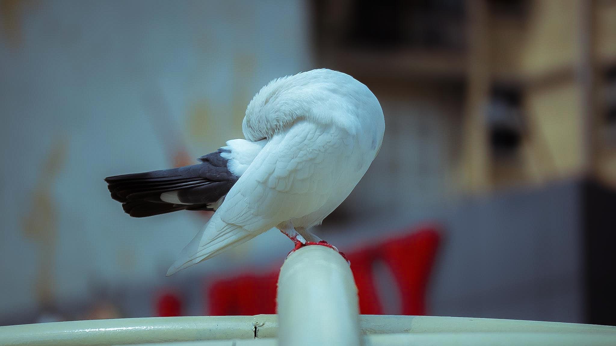 Free stock photo of bird, dove, dove bird, sleep dove