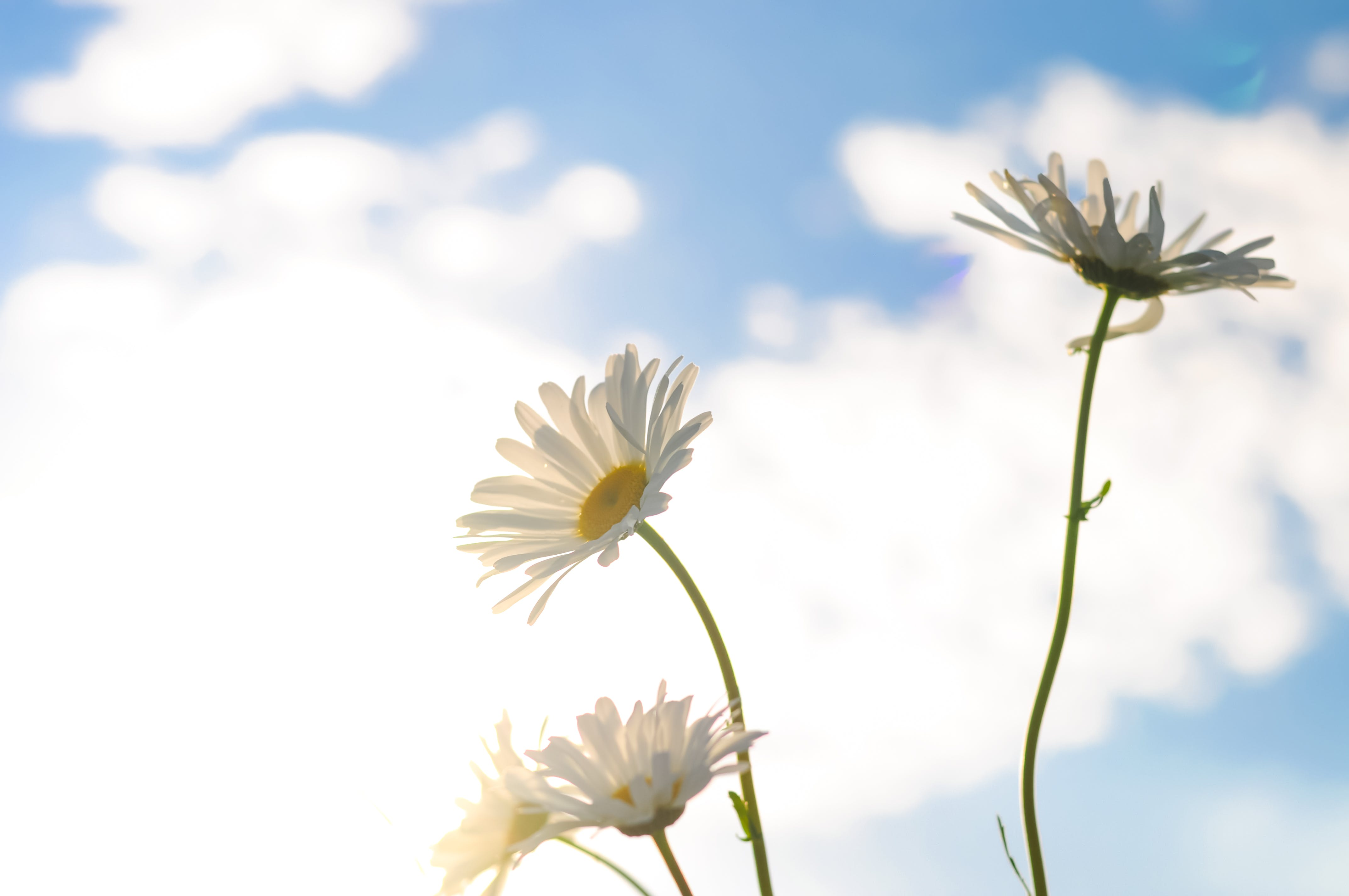 Shallow Focus Photography of Three White Daisies