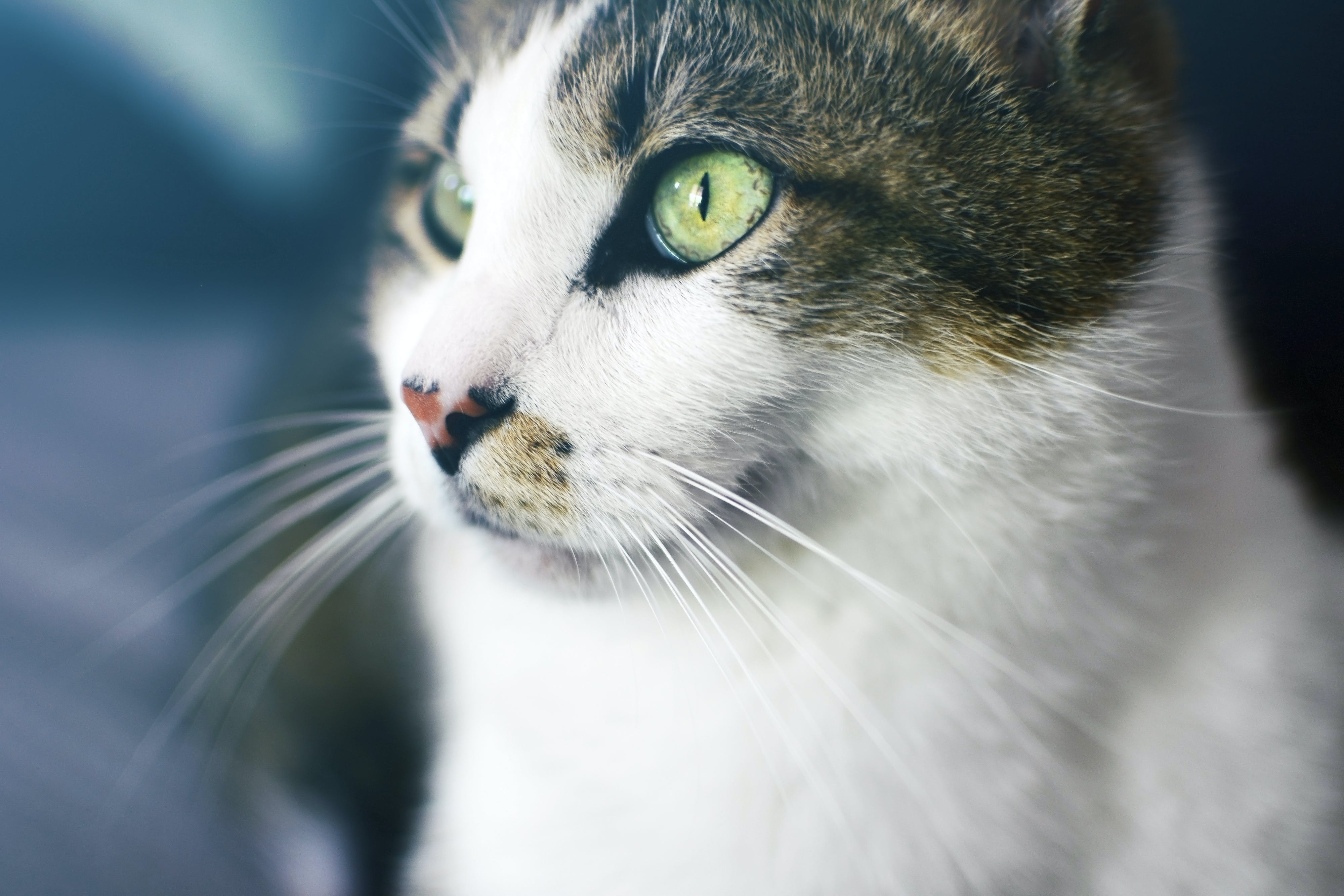 Close Up Photography of Brown Tabby Cat