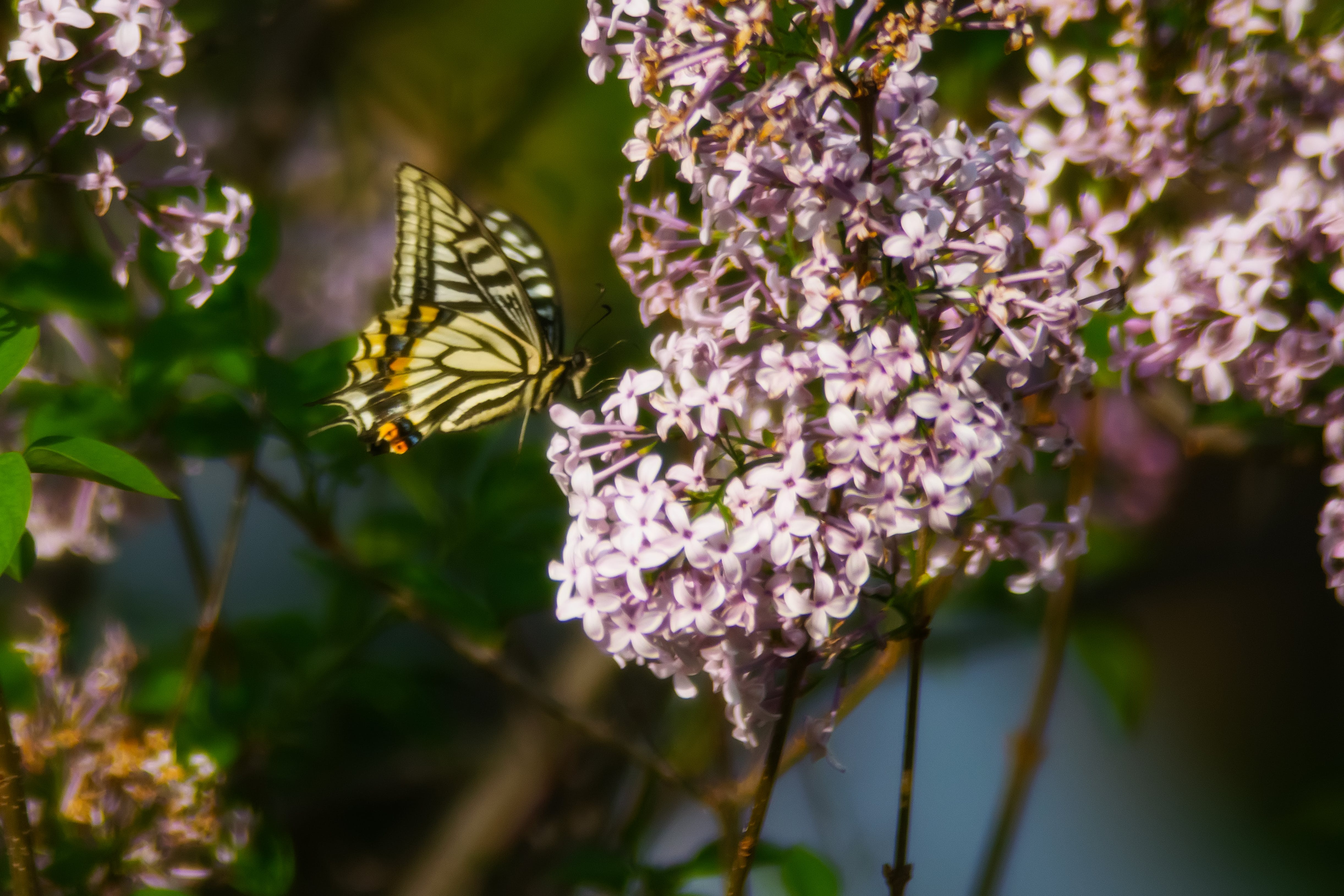 Tiger Swallowtail Butterfly Perched on Pink Petaled Flower at Daytime