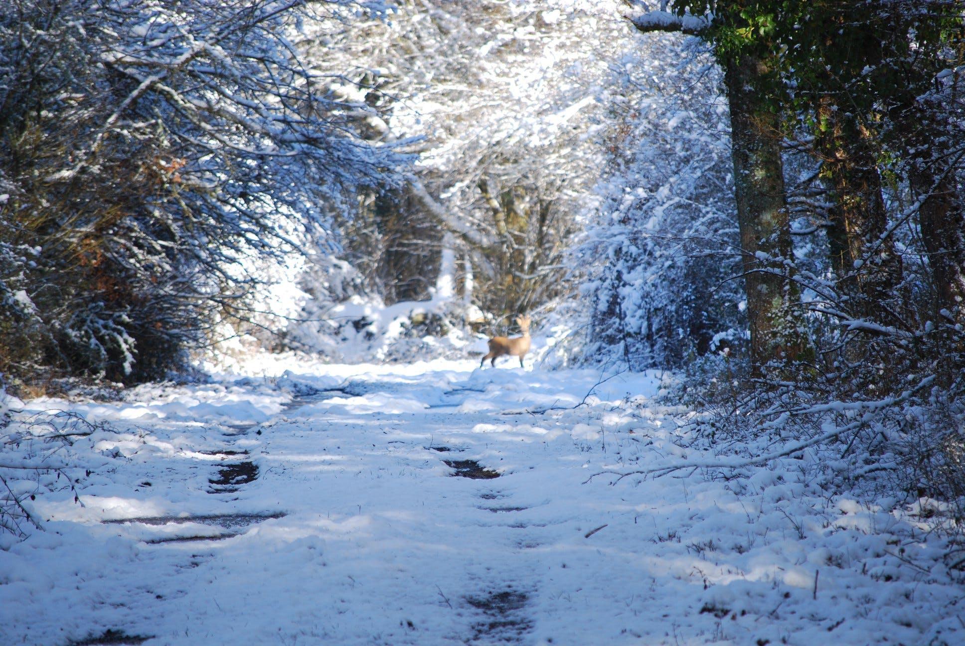deer, forest, snow
