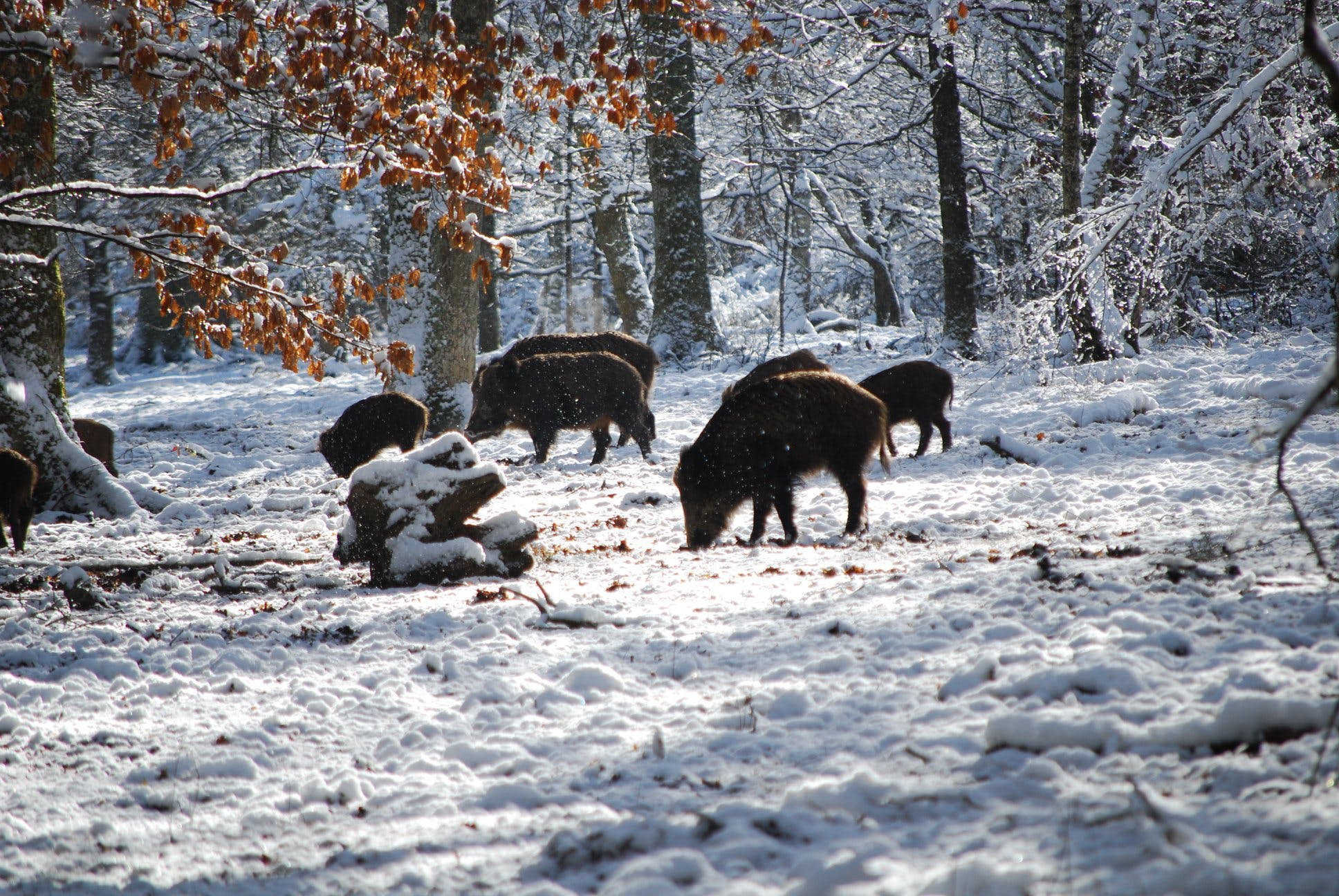 Boars on Snow Near Trees