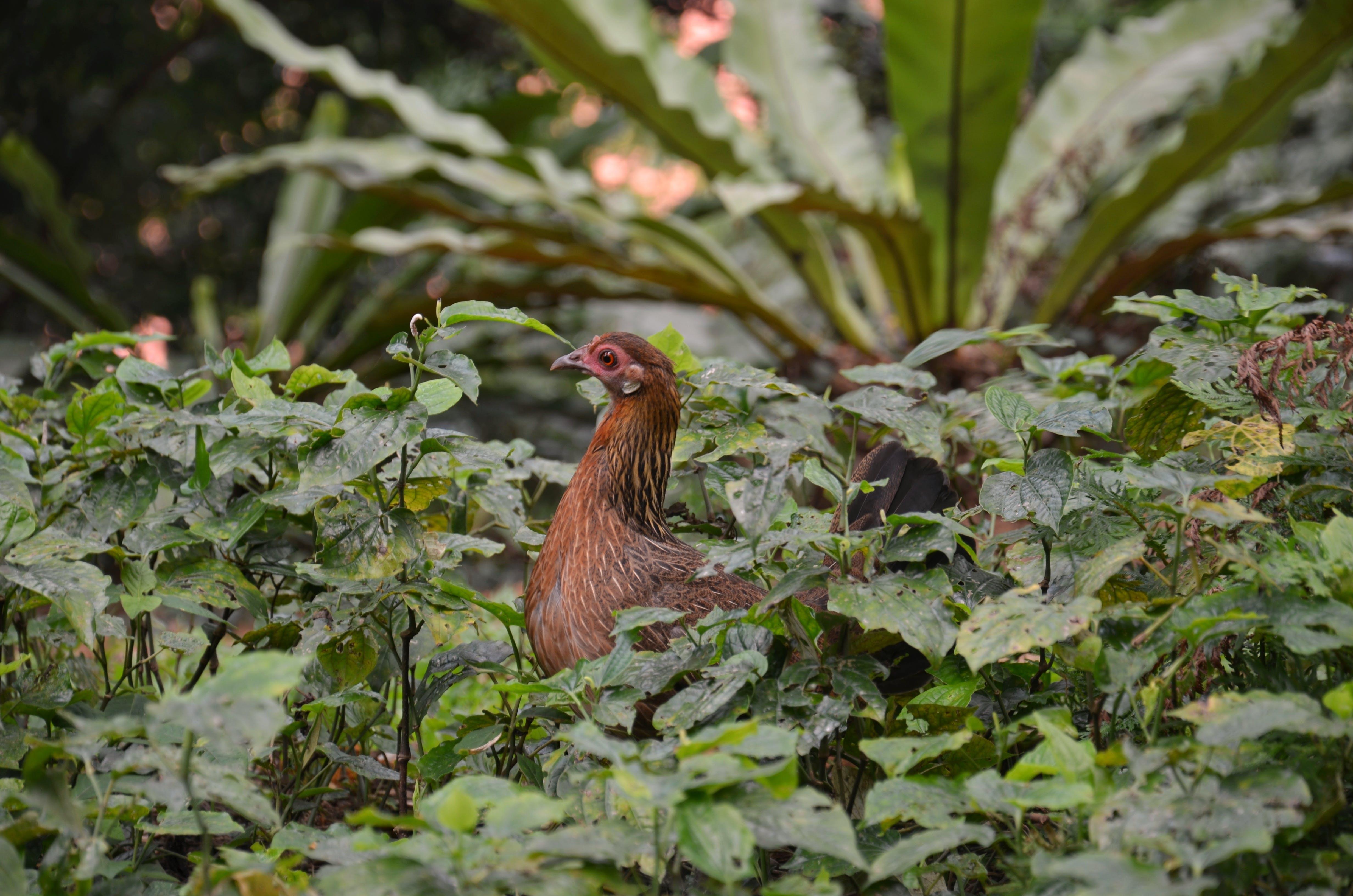 Free stock photo of #nature, #street, #wildlife, #chicken