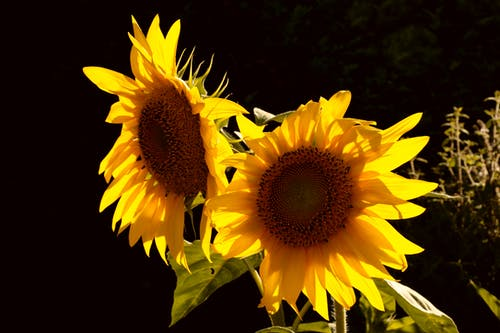 Close-up Photography of Two Sunflowers