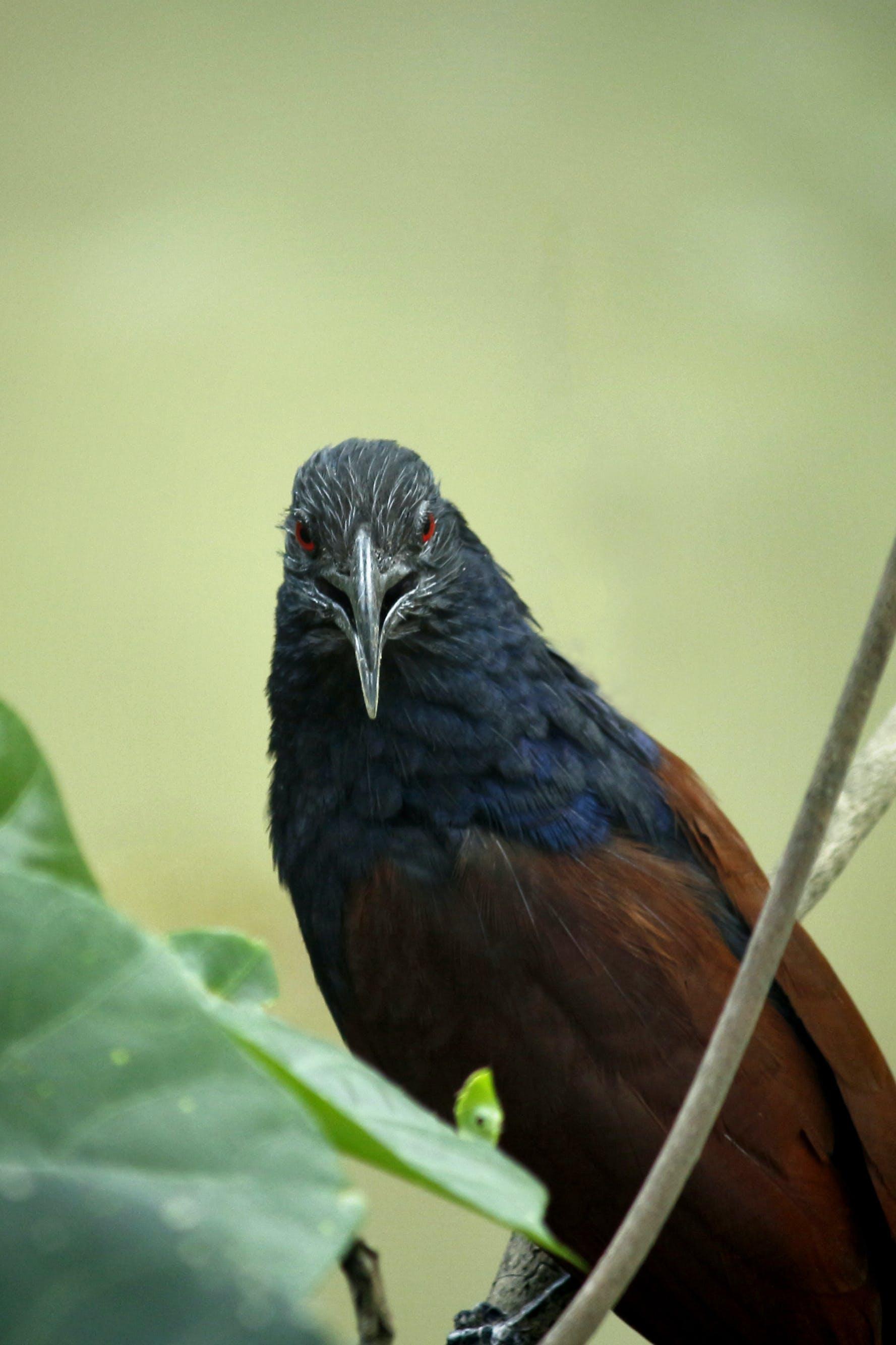 Základová fotografie zdarma na téma barva, centropus sinensis, červené oko, denní světlo