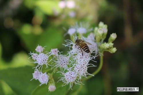 honybee, 藍花 的 免费素材照片
