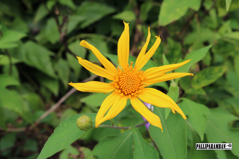 Free stock photo of sun, yellow flower