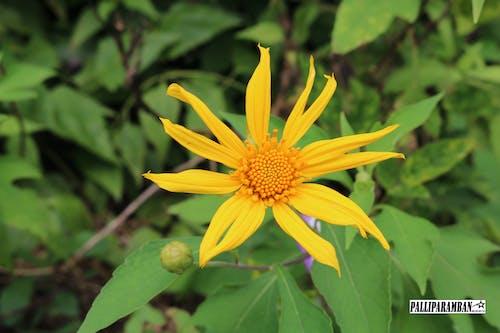 太陽, 黃花 的 免费素材照片
