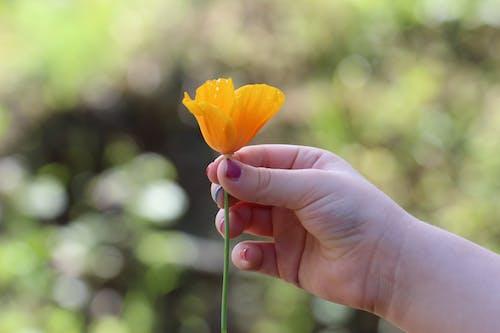 オレンジ, ハンド, フローラ, マクロの無料の写真素材