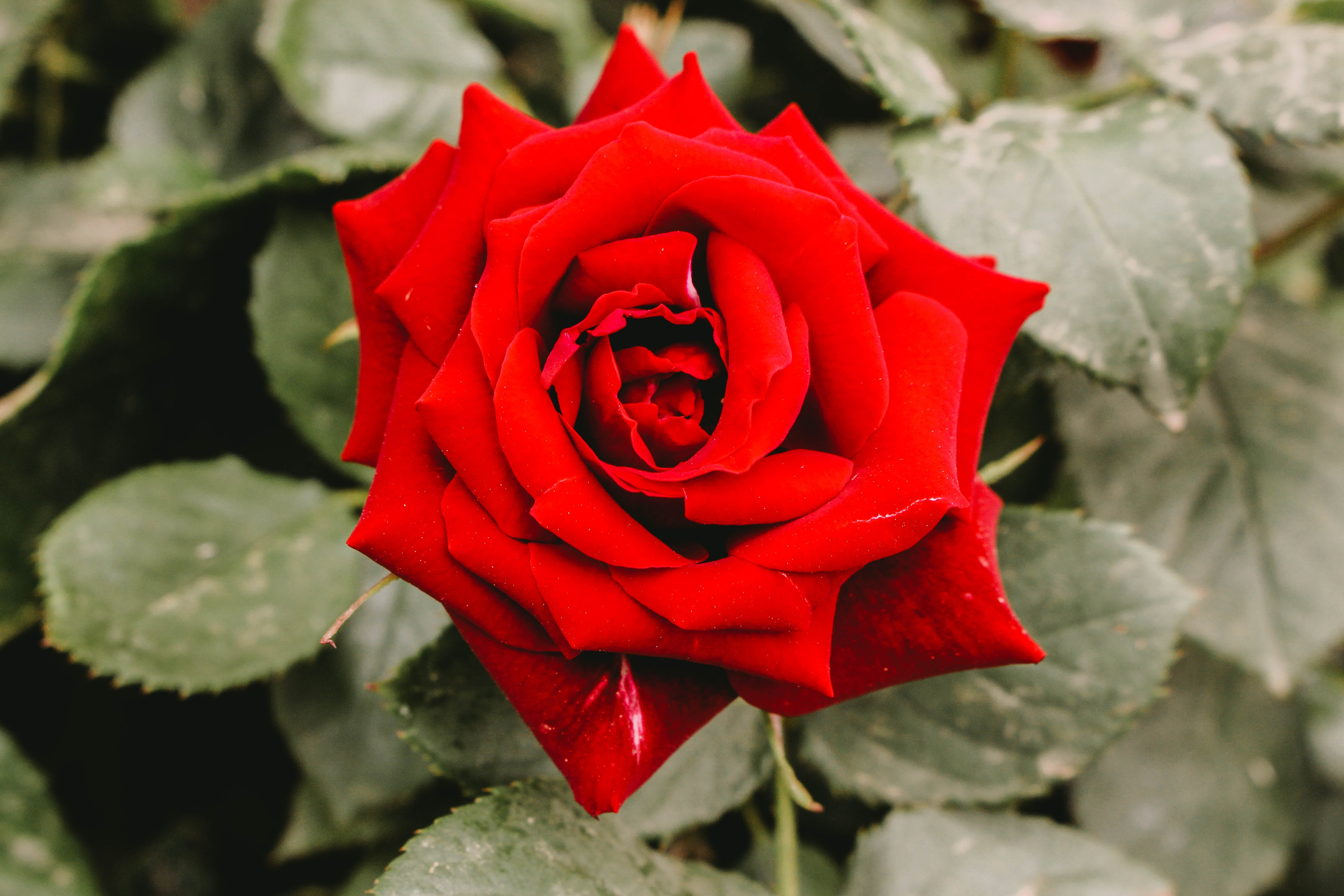 Closeup Photography of Red Rose Flower