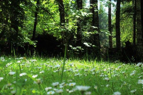 デイジー, フラワーズ, フローラ, 咲くの無料の写真素材