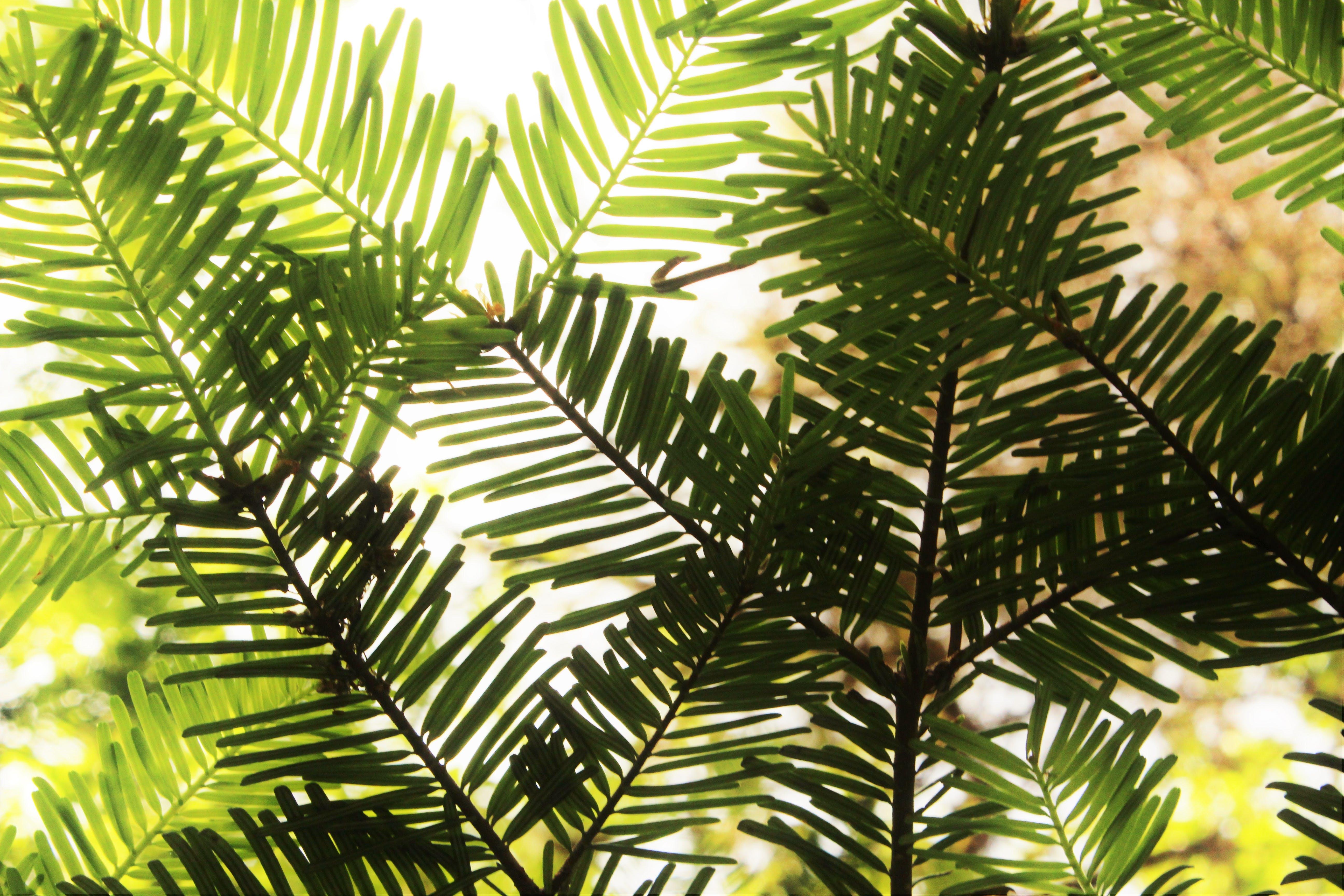 Free stock photo of pine trees, pine needle