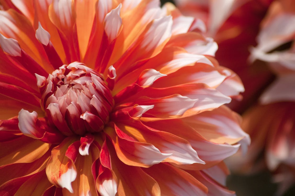 botanický, dália, flóra