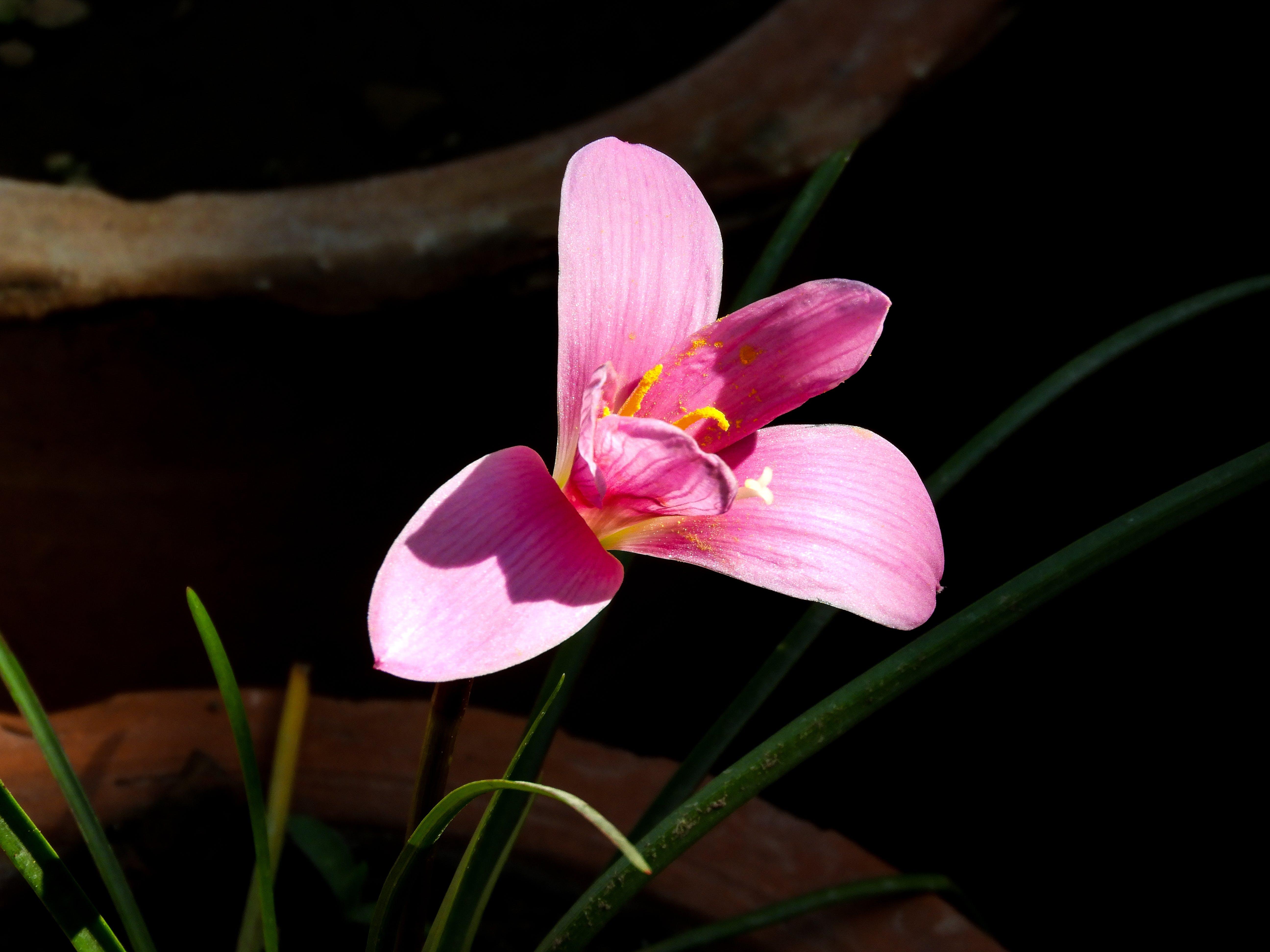 Kostenloses Stock Foto zu schöne tulpe im tages sonnenlicht