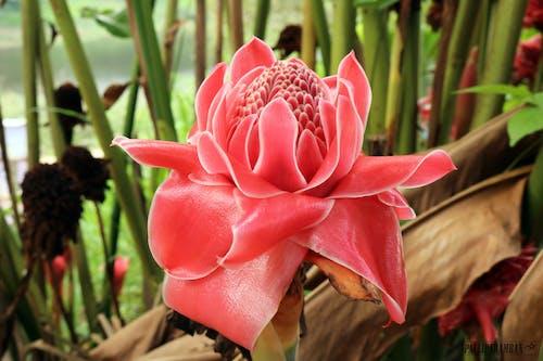 Δωρεάν στοκ φωτογραφιών με etlingera elatior, ανάπτυξη, ανθίζω, ανθισμένος