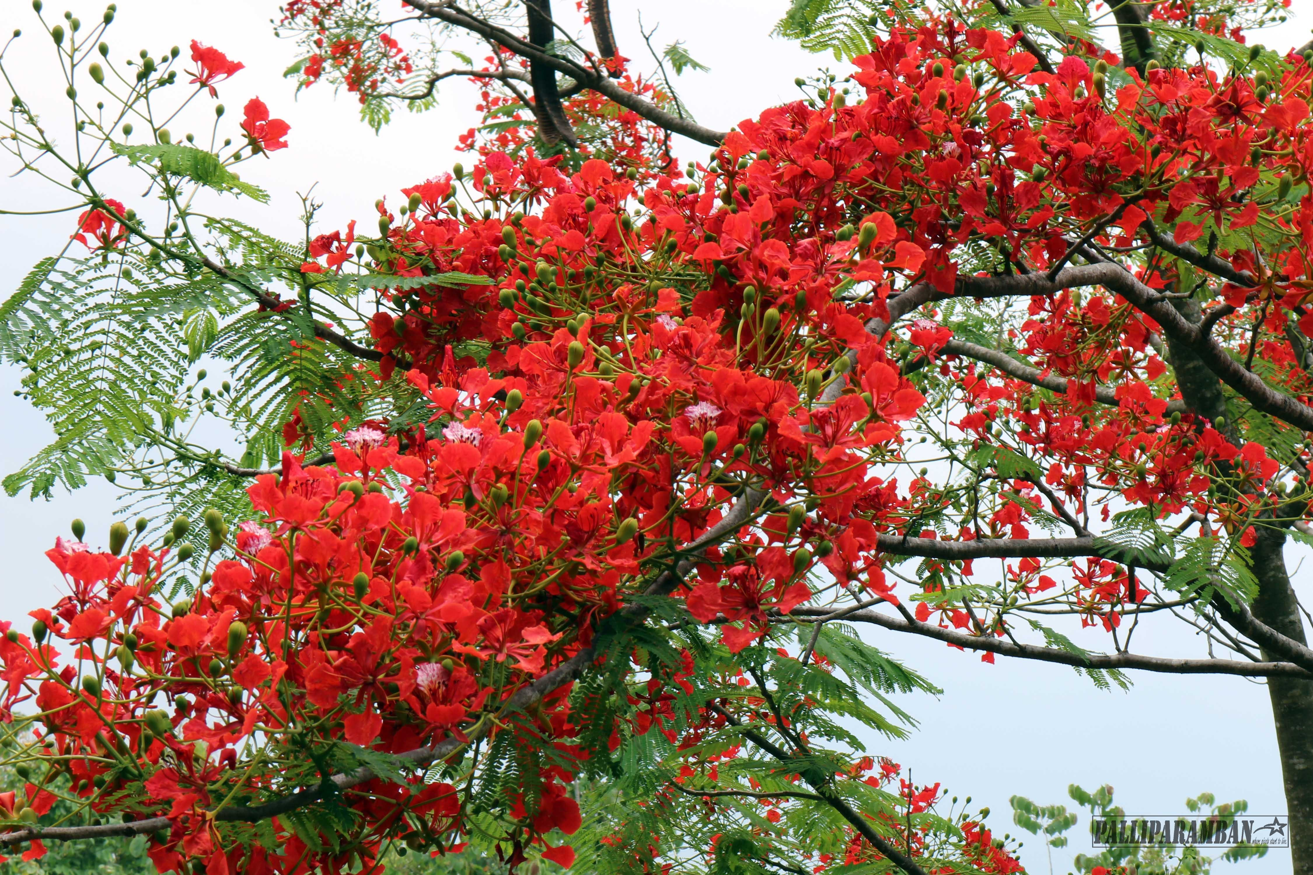 Free stock photo of beautiful flowers, flower tree, red flowers