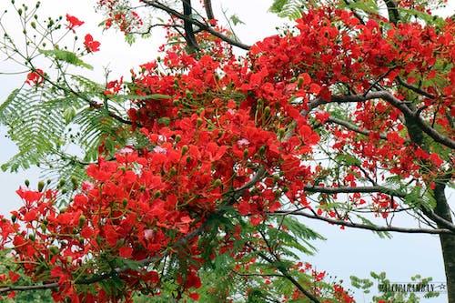 紅色的花朵, 美麗的花朵, 花树 的 免费素材照片