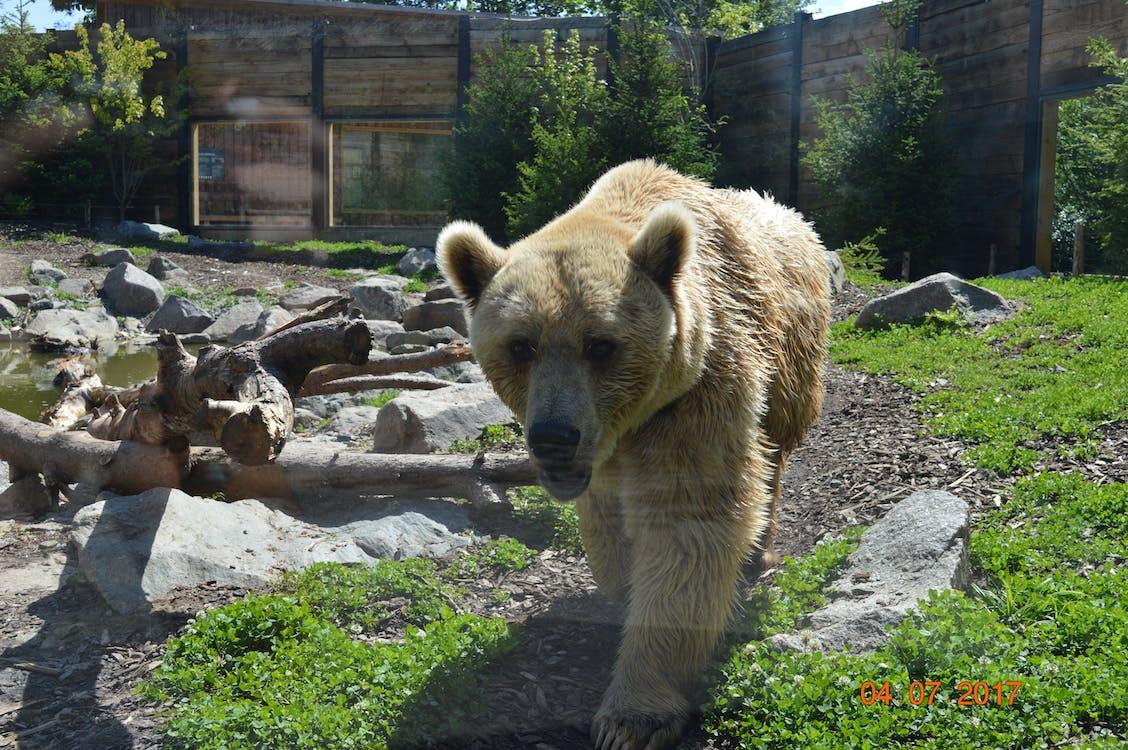 eläin, karhu, luonto