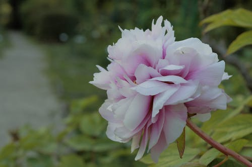 Selective Focus Photography of White and Pink Peony Flower