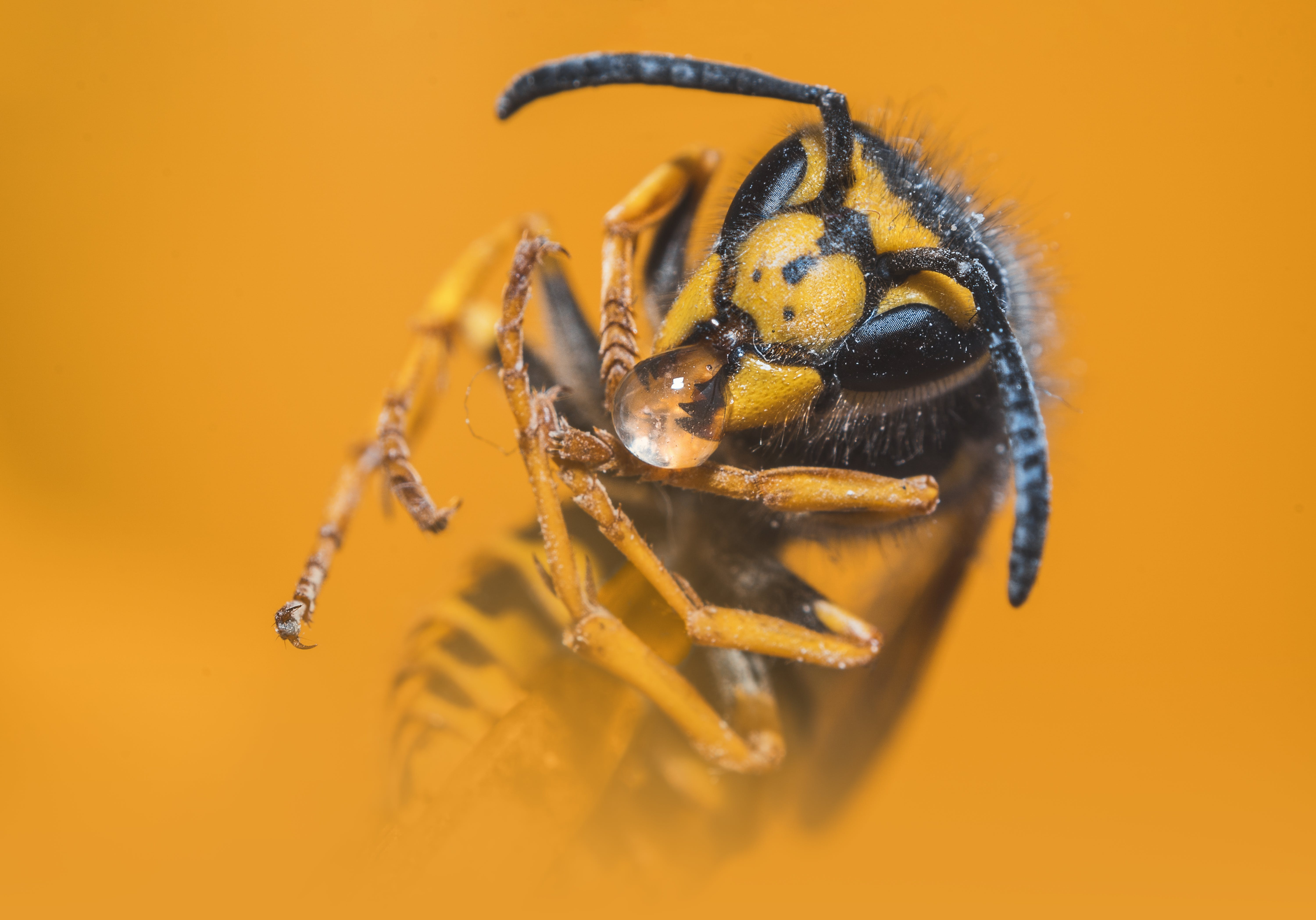 Close-up Photo of Yellow Jacket Wasp