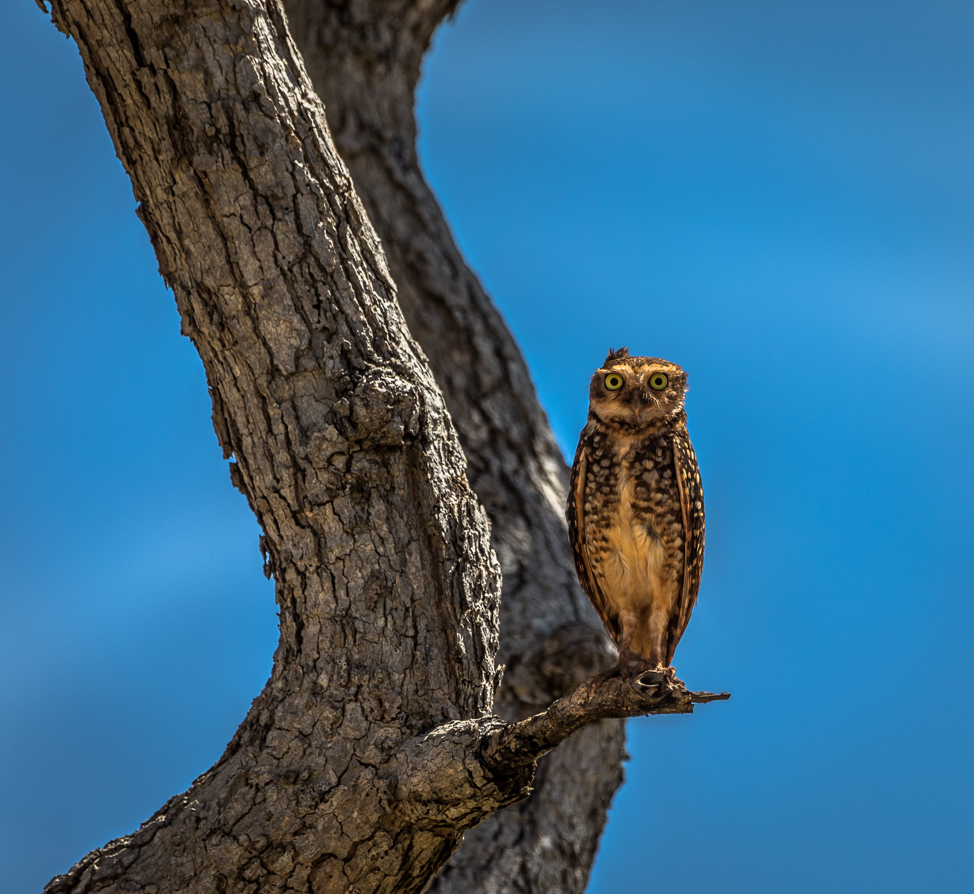 Owl Stand on Branch of Tree