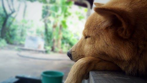 Darmowe zdjęcie z galerii z brązowy, odpoczywać, odpoczywanie, pies