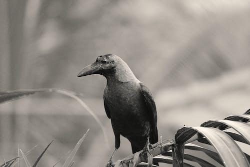 Gratis stockfoto met kraai, park, veer, vleugel