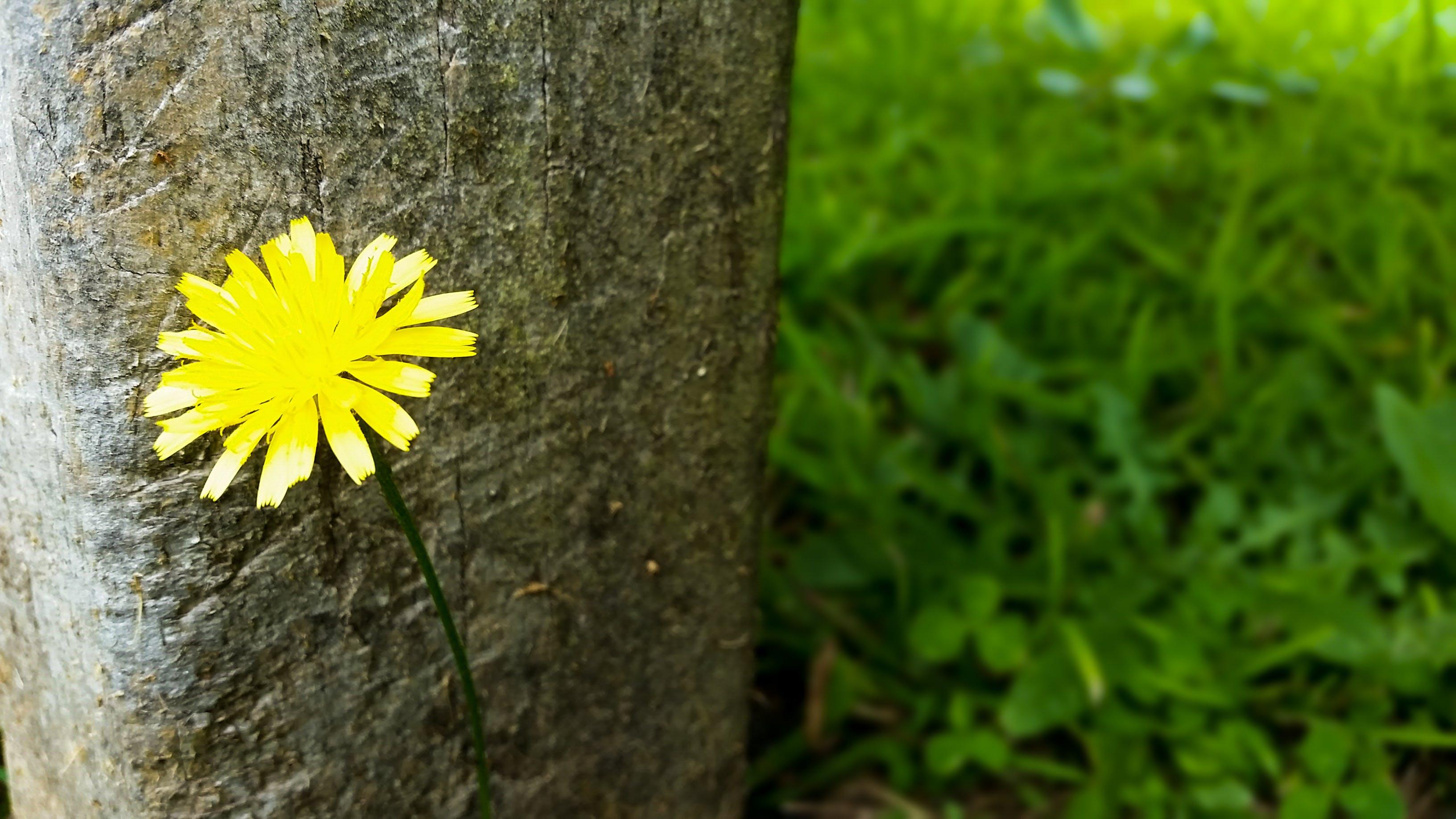 Free stock photo of yellow, petals, flower, dandelion