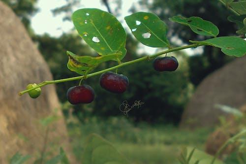 Gratis arkivbilde med avling, bjørnebær, blader av bær, bringebær