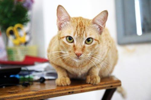 Δωρεάν στοκ φωτογραφιών με αιλουροειδές, Γάτα, γλυκούλι, ζώο