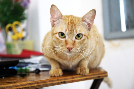 Yellow Cat on Table