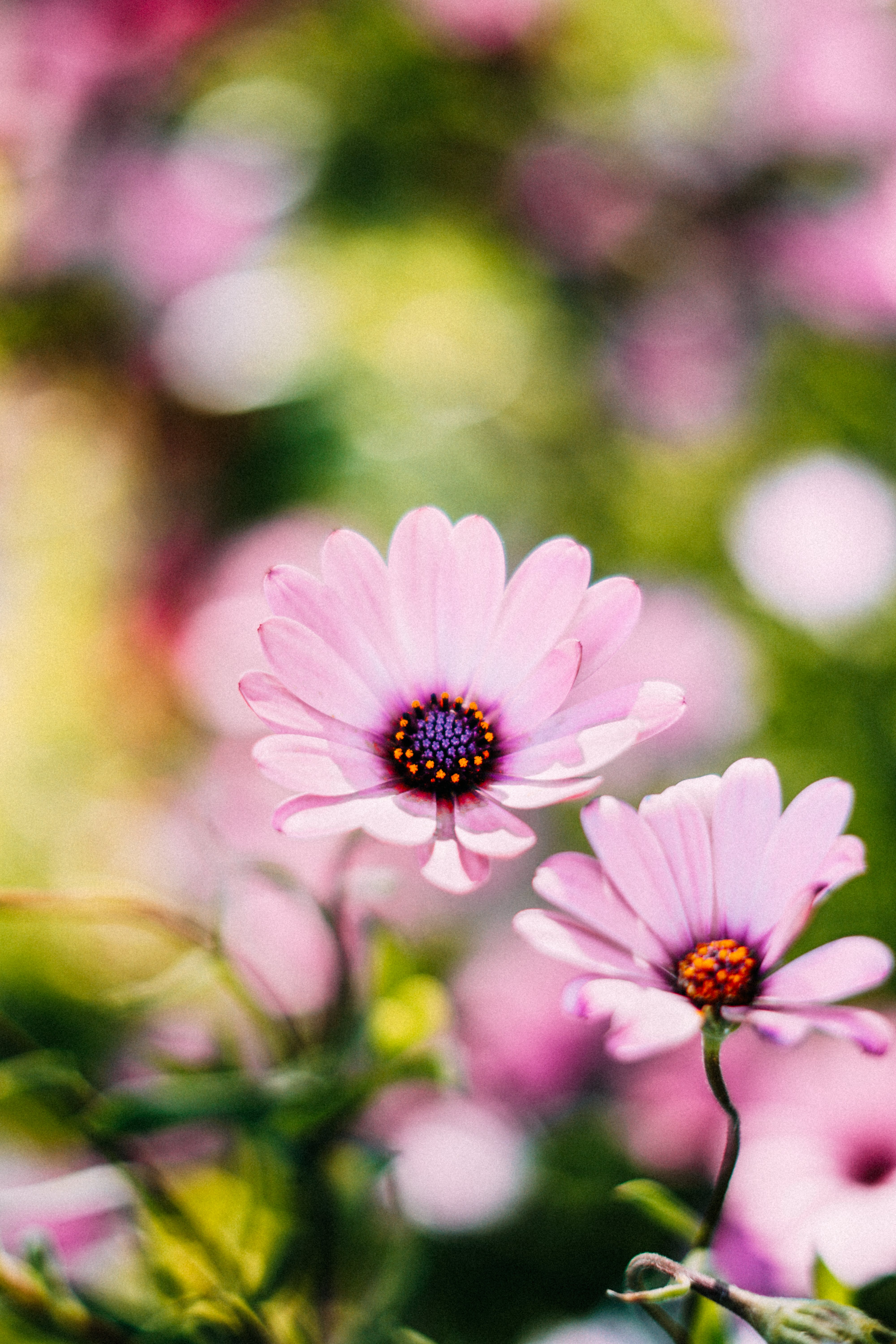 Selective Focus Photography of Pink Osteospermum Flowers